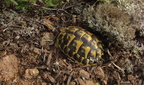 Tortue d'Herman (Les Mayons -83)
