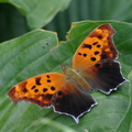 Polygonia interrogationis 2 (Toronto Islands, Ontario)
